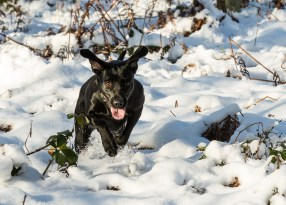 Black_Labrador_CalkeAbbey_tmsphotography-35
