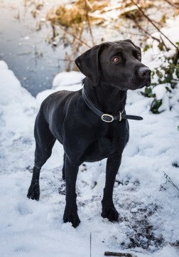 Black_Labrador_CalkeAbbey_tmsphotography-47