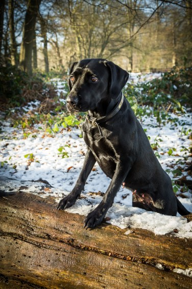 Black_Labrador_CalkeAbbey_tmsphotography-54