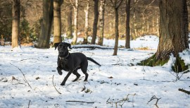 Black_Labrador_CalkeAbbey_tmsphotography-63