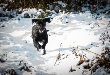 Black_Labrador_CalkeAbbey_tmsphotography-73