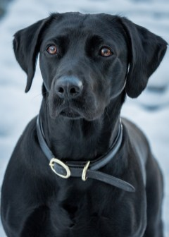 Black_Labrador_CalkeAbbey_tmsphotography-84