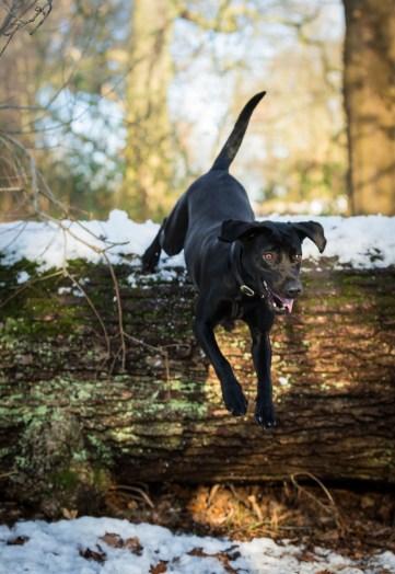 Black_Labrador_CalkeAbbey_tmsphotography-85