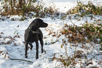 Black_Labrador_CalkeAbbey_tmsphotography-88