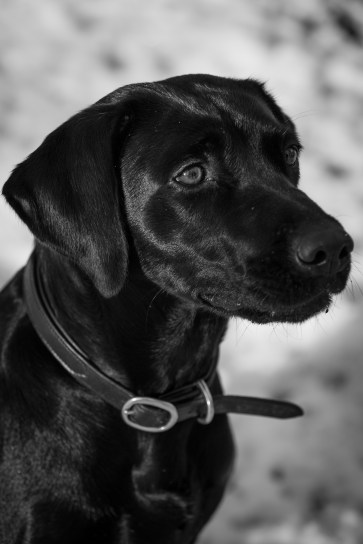 Black_Labrador_CalkeAbbey_tmsphotography-89