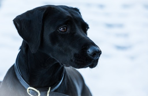 Black_Labrador_CalkeAbbey_tmsphotography-99