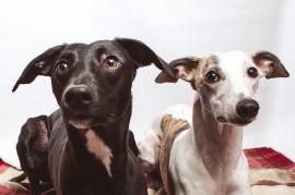 dog_portraits_photographer_leicestershire-119