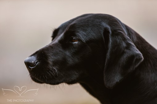 Dog_portrait_Photoshoot_Leicestershire_Labrador (1 of 1)-11