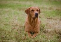 Dog_portrait_Photoshoot_Leicestershire_Labrador (1 of 1)-5