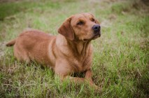 Dog_portrait_Photoshoot_Leicestershire_Labrador (1 of 1)-8