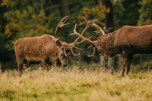 Deer_calkeparkderbyshire-22