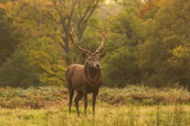 Deer_calkeparkderbyshire-29