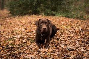 Dog_photographer_Labrador-18