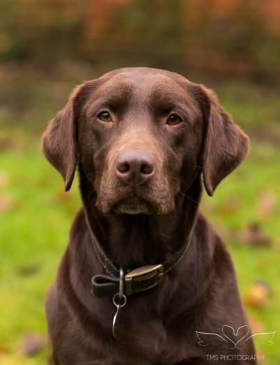 Dog_photographer_Labrador-2