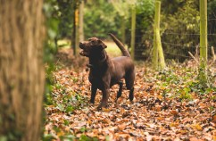 Dog_photographer_Labrador-29