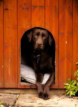 Dog_photographer_Labrador-35