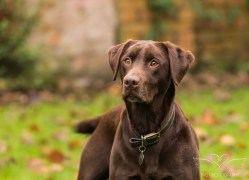 Dog_photographer_Labrador-6