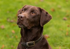Dog_photographer_Labrador-8