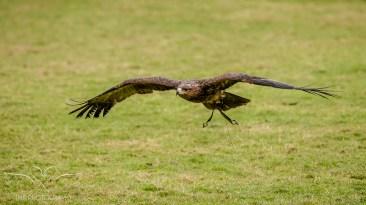 Birdsofprey_photography (53 of 71)