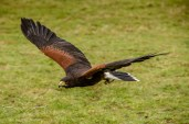 Birdsofprey_photography (70 of 71)