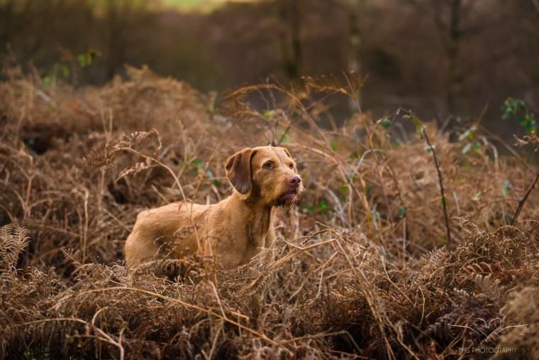 Dog_photographer_Viszla-40