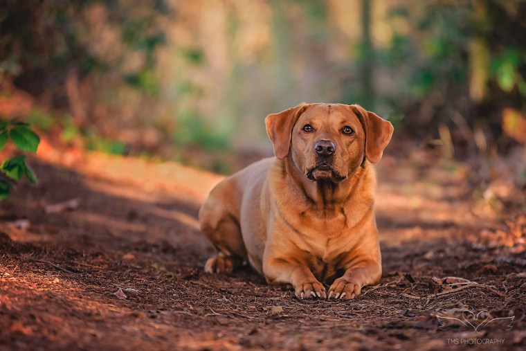 Fox_Red_Labrador_Dog_photography_Derbyshire
