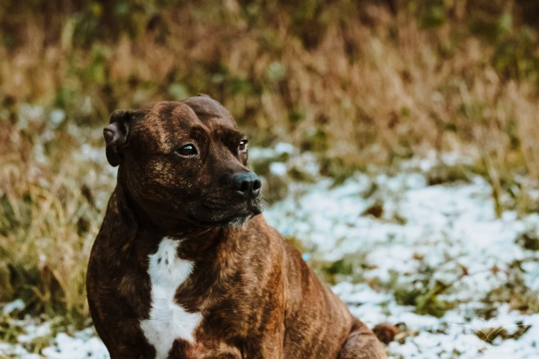 Dog_photographer_Derbyshire_Staffordshire_Bull_Terrier-12