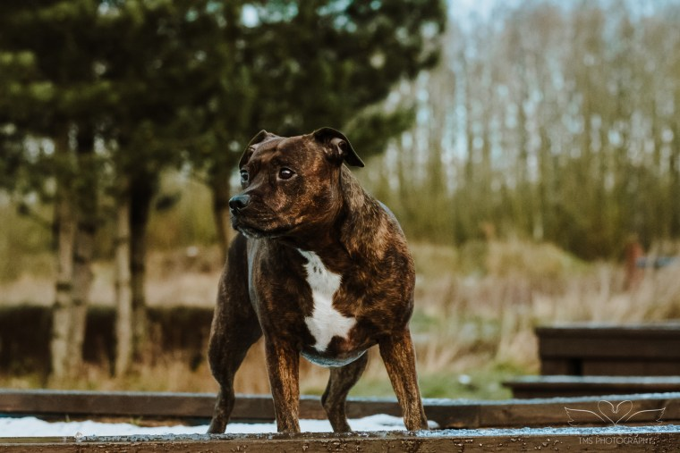 Dog_photographer_Derbyshire_Staffordshire_Bull_Terrier-6