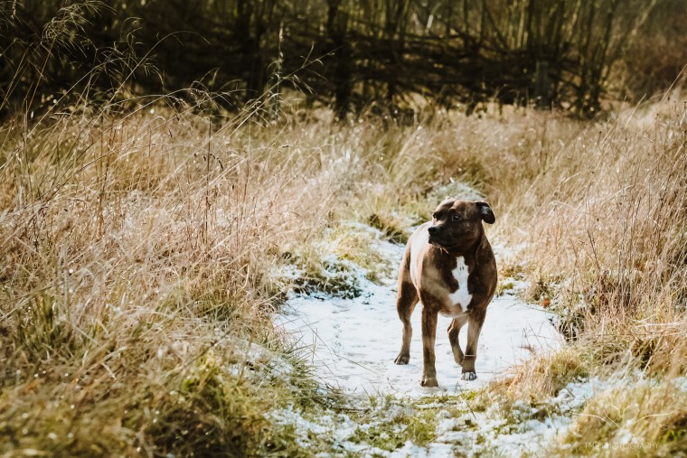 Dog_photographer_Derbyshire_Staffordshire_Bull_Terrier-8