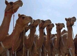 Mazayina-Dhafra-Camel-Festival