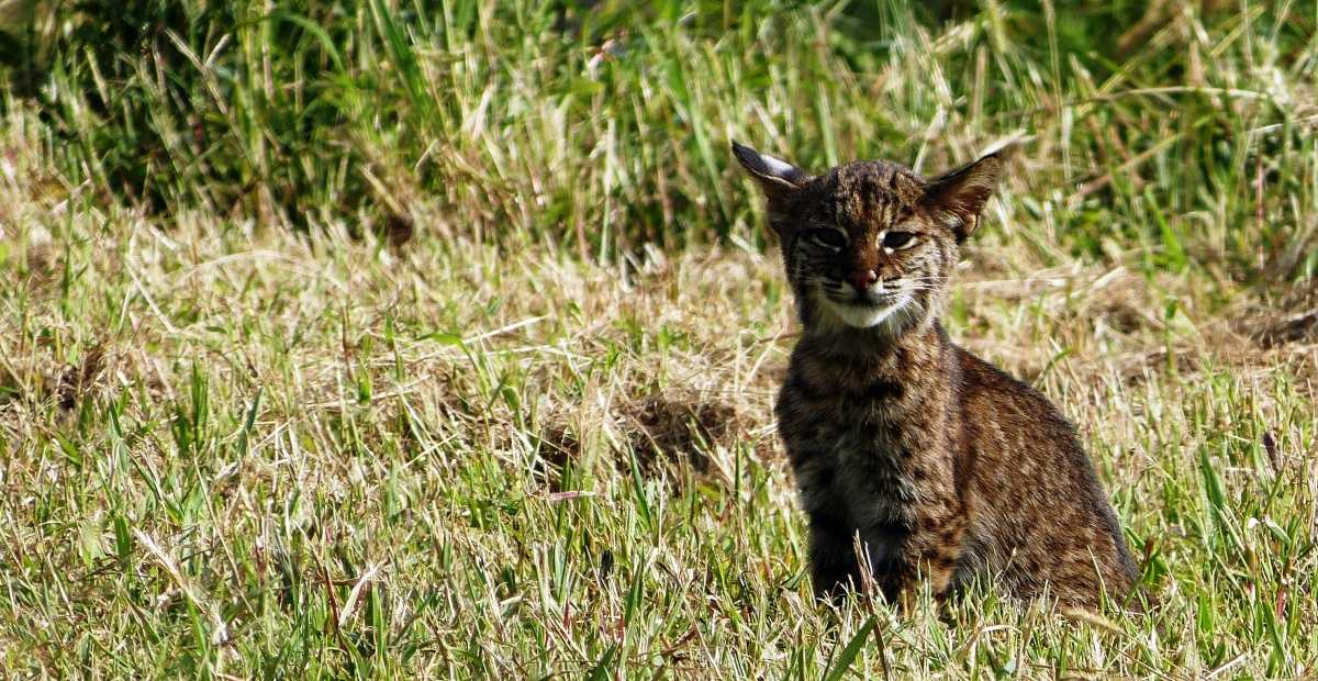 Bobcats show increased stress in higher populated areas, study shows