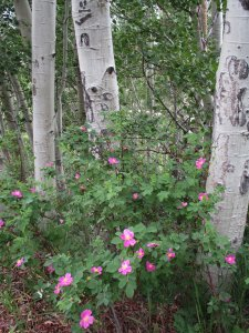A wild rose and aspen trunks.