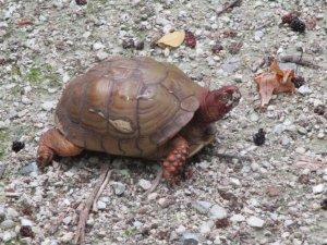 A box turtle.
