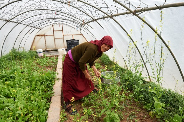 Buddhist nun working in greenhouse