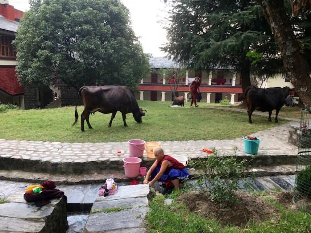 cows, Tibetan Nuns Project, nunnery, Dolma Ling, cow barn project