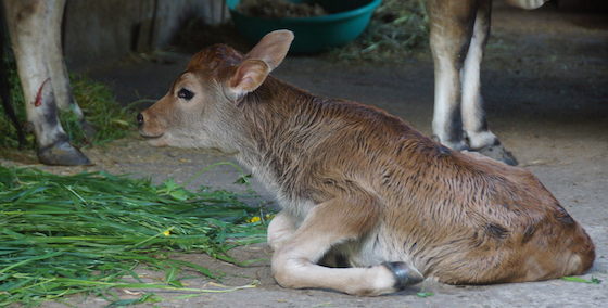 new calf born at Dolma Ling Nunnery April 2020