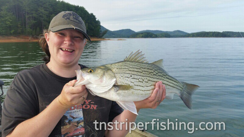 Tennessee Striper Fishing Guide Charter Services Capt'n Jay Lake Cherokee Guided fishing experience for catching bass and walleye