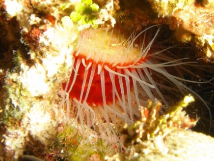 Flaming Scallop 2014-06-20 02