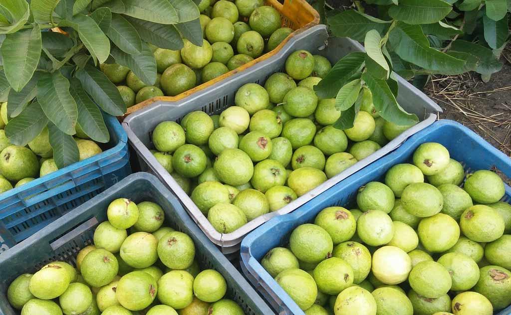 freshly plucked Thai guavas
