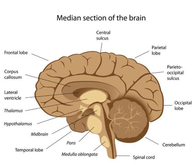Bagian Median Otak Cara Mengobati Kanker Otak