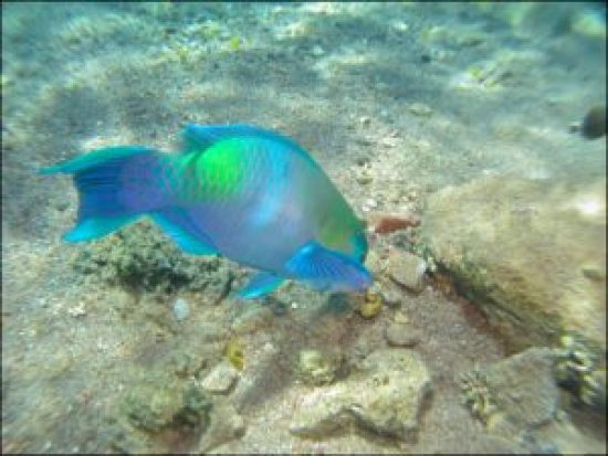 Parrot Fish in the Red Sea