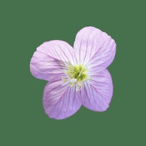 Evening Pink Primrose Sticker