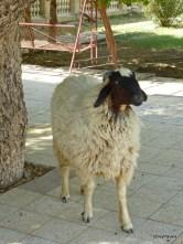 Qurnah, Hotel pet sheep