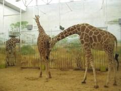 6 kaloryferów u żyraf. Zastanawiałem się czy dają radę w tak wysokim budynku. Muszą dawać radę :)