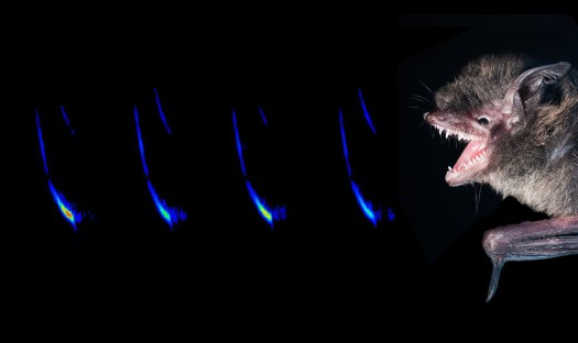 A picture of a little brown bat along with a spectrogram of its echolocation call. Spectrograms are visual representations of the frequency, temporal and amplitude characteristics that are used by bat biologists to try and identify species based on echolocation calls. Again, the bat's mouth is open to facilitate echolocation, rather than in aggression.