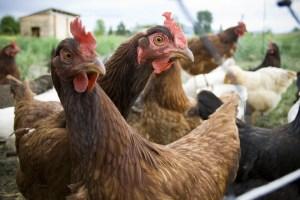 inquistive_hens