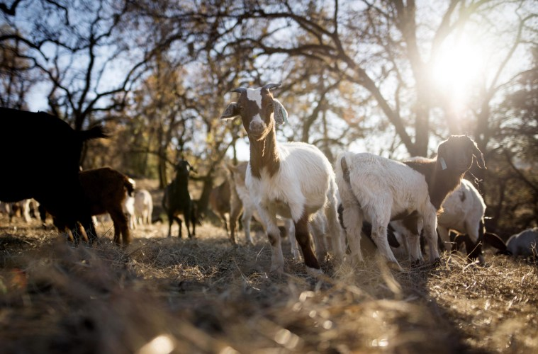 A group of goats munch on dry grass as a measure to cut back on fire fuels in the Big Chico Creek Ecological Reserve.