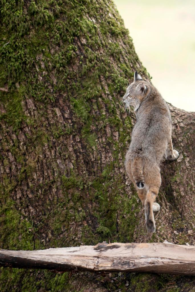 A bobcat climbs up the mossy trunk of a maple tree, while looking off to the side as his former captors.