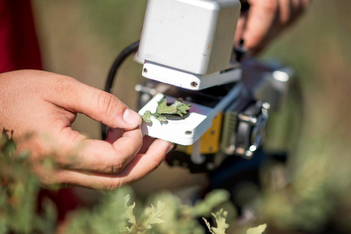 A hand holds an oak leaf between two fingers as it puts it into an infrared gas analyzer to measure photosynthesis.