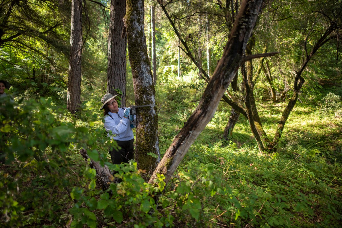 Jackie Rodriguez adjusts a trail camera mounted to a tree by a strap.